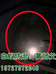 彩塘一老厝灭白蚁:白蚁巢