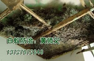 潮州吊顶上的白蚁巢
