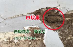 潮州灭白蚁:墙里的白蚁巢